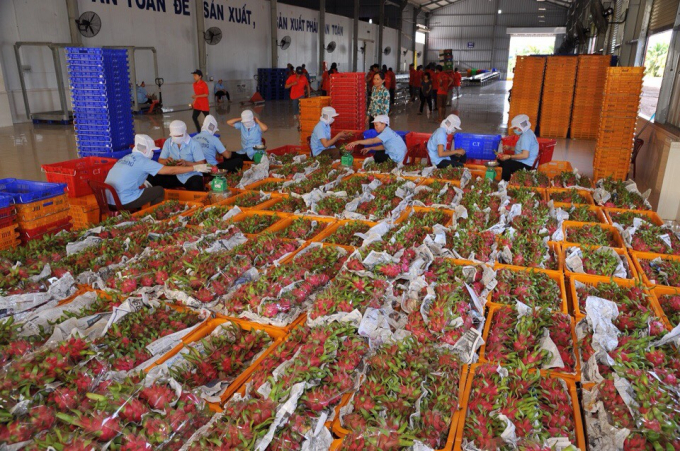 Many establishments purchasing dragon fruit want to operate to ensure '3 on-sites' measure. Photo: Minh Dam.